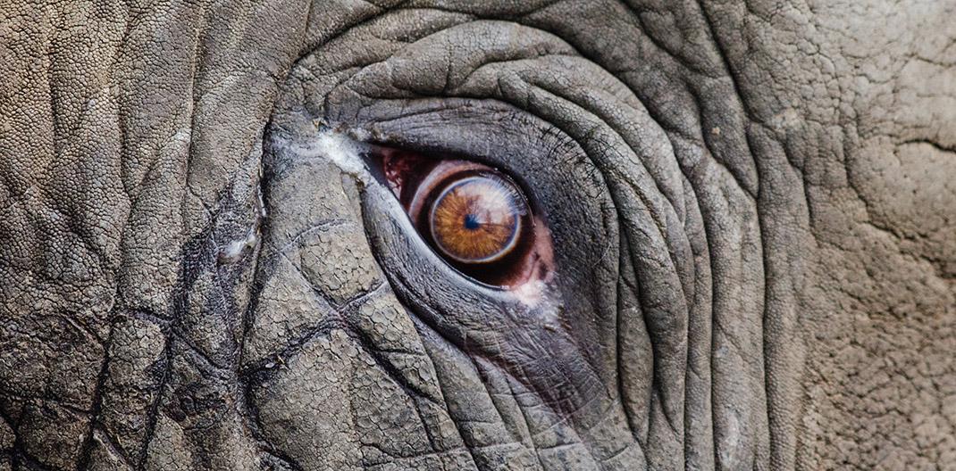 Ojos de elefante